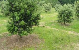 truffier_arbre